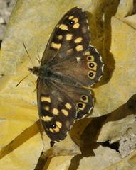 Waldbrettspiel - Falter, Schmetterling, Pararge aegeria, Symmetrie, symmetrisch, Tagfalter, Fleckenfalter
