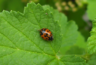Marienkäfer - Käfer, Insekten, Marienkäfer, Nützling, Meditation, Schreibanlass, halbkugelig, Deckflügel, Glückssymbol, Schädlingsbekämpfer