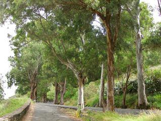 Eukalyptusbäume - Eukalyptus, Blaugummibaum, Baum, Bäume, Baumstamm, Stamm, Straße, Allee, Myrtengewächs, Krone, Blätter, immergrün, Gehölz, ätherische, Öle, subtropisch, Rinde, Schichten, grün, braun