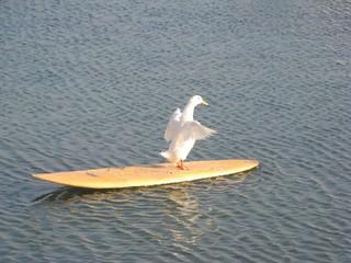 Ente #2 - Ente, Meer, Surfbrett, Wasservogel, schwimmen, Haustier, Schreibanlass