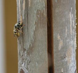 Wespe - Wespe, Zellulose, Insekt, Hautflügler, Faltenwespe, Baum, Stamm