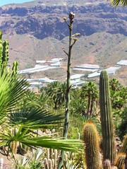 Agave # 1 Knospen - Agave, Pflanze, Jahrhundertpflanze, Blüte, Knospe, Blütenstand, grün, gelb, tropisch, subtropisch, Kaktus, Kakteen, Palmen, Felsen, Jahrhundertpflanze, Pflanzenfaser, Agavengewächs, Spargelartig, Saftgewinnung, Mediterran