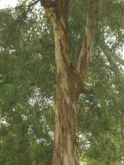 Eukalyptusbaum - Eukalyptusbaum, Eukalyptus, Myrtengewächs, Baum, Stamm, Baumstamm, Krone, Blätter, immergrün, subtropisch, Rinde, Schichten, ätherische, Öle, Gehölz