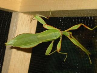 männliches wandelndes Blatt - Phytomimese, Mimese, Pflanzennachahmung, wandelndes Blatt, Insekt, Gesenstschrecke, Pflanzenfresser, Tarnung, Tarnfarbe