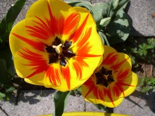 Tulpen, aufgeblüht - Garten, Blüte, Zwiebelgewächs, gelb, Stempel, Staubblätter, Staubfäden, Frühlingsblume, Frühblüher