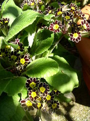Primel - Primel, Garten, mehrjährig, Frühblüher