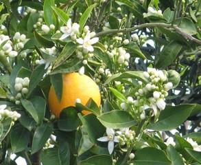 Orange - Orange, Südfrucht, Zitrusfrucht, Obst, Orangenbaum, Blüte, blühen