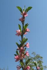 Pfirsichbaum-Blüte - Pfirsich, Pfirsichbaum, Zweig, Blüte, blühen, Frühling, rosa