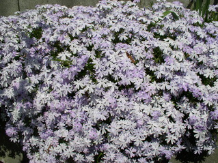 Polsterflox - Polsterflox, blau, Frühlingsblume, Garten
