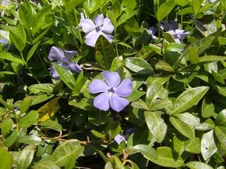 Immergrün - Immergrün, blühen, Garten, blau, Hundsgiftgewächs, Zierpflanze