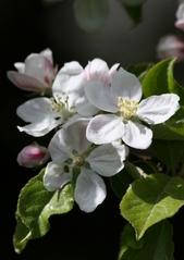 Apfelblüten - Nutzpflanze, Garten, Gartenbau, Frühling, Apfel, Apfelblüte, Knospe, Blüte, Blütenblatt, Kronblatt, Staubblatt, fünf