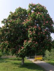 Kastanie #2 - Kastanie, Rosskastanie, Baum, Stamm, Krone, Gehölz, Blätter, Laub, Blüten, Blütenstand, rot, grün