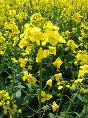 Rapsblüte - Raps, Rapsblüte, Natur, Öl, Nutzpflanze, Rapsöl, Kreuzblütler, gelb