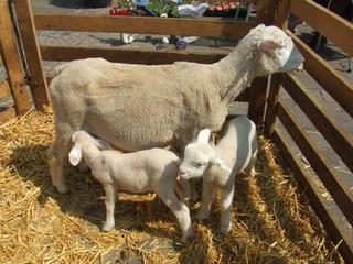 Lämmer - Schafe, Tiere, zwei, Lamm, Wiese, Weide, Nutztier, säugen, drei, Menge, Kind