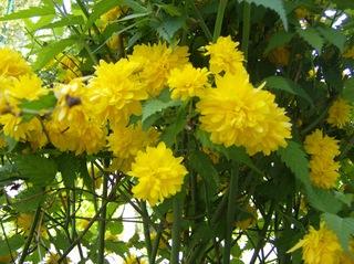 Ranunkelstrauch gefüllt - Ranunkelstrauch, Kerrie, Goldröschen, gefüllt, gelb, Laubblätter, Rosengewächs, Zierpflanze