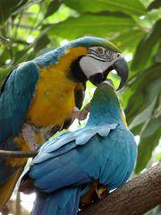 Küsschen, Küsschen - Ara, Hyazinth-Ara, Vogel, blau, Papagei, Brasilien, Urwald, Regenwald, Mittelamerika, Südamerika, Gefieder, bunt
