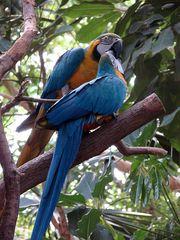 Aras beim Schnäbeln - Ara, Hyazinth-Ara, Vogel, blau, Papagei, Brasilien, Urwald, Regenwald, Mittelamerika, Südamerika, Gefieder, bunt