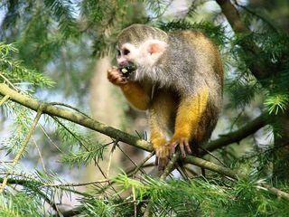 Totenkopfaffe #1 - Totenkopfäffchen, Affe, Primat, Südamerika, Kapuzinerartige, Trockennasenaffe, klein, Säugetier