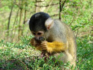 Totenkopfaffe # 2 - Totenkopfäffchen, Affe, Primat, Südamerika, Kapuzinerartige, Trockennasenaffe, klein, Säugetier