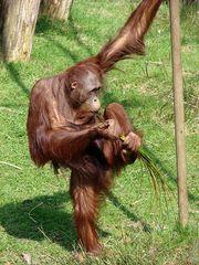 Orang-Utan  - Orang-Utan, Primat, Affe, Menschenaffe, Trockennasenaffe, Pflanzenfresser, Asien, Südostasien, Säugetier, groß, orange, Fell