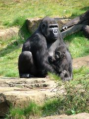 Gorilla-Mama - Gorilla, weiblich, Primat, Affe, Menschenaffe, Trockennasenaffe, Pflanzenfresser, Afrika, Knöchelgang, Jungtier, Kind, Mutter, Säugetier, groß
