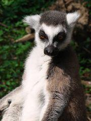 Katta von nah - Katta, Primaten, Lemuren, Affe, Maki, Madagaskar, Allesfresser, Feuchtnasenaffe