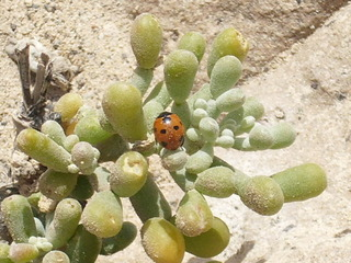 Marienkäfer - Marienkäfer, Siebenpunkt, Insekt, Käfer, klein, rot, Punkte, Punkt, Felsen, Pflanze, Nahrung, Schutz, Natur, ausruhen, krabbeln, Flügel, fliegen