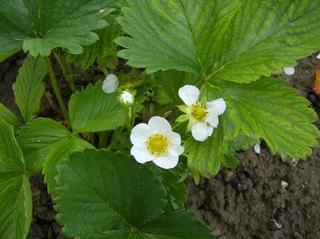 Erdbeerblüte - Erdbeerblüte, Erdbeerpflanze, Blätter, Rosengewächs, Gartenerdbeere, Blüte, Sammelnussfrucht