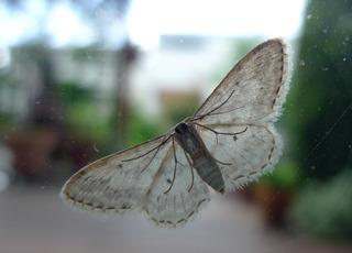 Vierpunkt Kleinspanner - von unten - Falter, Spanner, Vierpunkt Kleinspanner, Geometridae, Nachtfalter, nachtaktiv, dämmerungsaktiv, Flügeladern, Symmetrie, symmetrisch, Ectropis crepuscularia