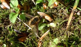 Taubenschwänzchen - Taubenschwänzchen, Schwärmer, Wanderfalter, Hummelkolibri, Macroglossum stellatarum, Karpfenschwanz, Schmetterling