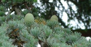 Atlaskiefer - grüne Kieferzapfen - Kiefer, Atlaskiefer, Kieferzapfen, Zapfen, Nadelholz, immergrün, Kieferngewächse, Pinaceae, Nadelbaum