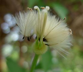 Clematis-Samen - Clematis, Samen, Kletterpflanze, Klematis, Waldrebe, Flugsame, Samenverbereitung