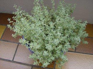 Thymian - Thymian, Gewürzpflanze, Heilpflanze, Lippenblütengewächs, ätherische Öle