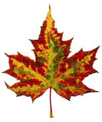 Herbstblatt - Blatt, Herbst, Jahreszeiten, Baum, Verfärbung, Ahorn, Ahornblatt, Laubbaum