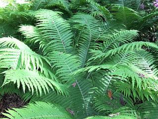 Farn - Farn, Farnkraut, Garten, grün, Natur, Feuchtgebiet, Gefäßsporenpflanze, Wald, Sporen, Blätter