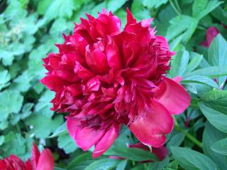 Blüte einer Pfingstrose - Pfingstrose, Paeonie, Blüte, Blume, Pflanze, Natur, rot, grün, Blätter, Stängel, Frühling, Pfingsten, gefüllt
