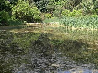 Teich, Moortümpel mit Knüppeldamm - Teich, Tümpel, Moor, Biotop, Wasser, Wasserlinsen, Entengrütze, Farn, Damm, Knüppeldamm, Holz, Reflexion, Ruhe, Natur