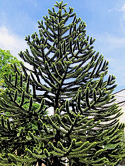 Auraucaria, Schlangentanne #2 - Araucaria, Schlangentanne, Schuppentanne, Affenschwanzbaum, immergrün, Bäume, Baum, spiralig, grün, schuppenförmig, Südamerika