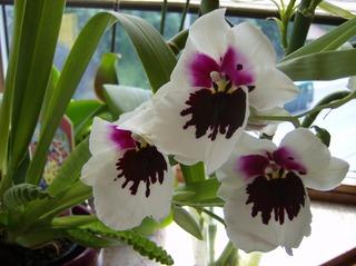 Orchidee - Orchidee, Orchideen, Blüte, Blüten, Blütenstand, weiß, rosa, Miltonia