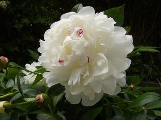 Weiße Pfingstrose - Pfingstrose, Paeonie, Blüte, Blume, Pflanze, Natur, Blätter, Stängel, Pfingsten, gefüllt