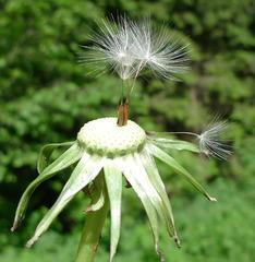 Pusteblume - Löwenzahn, Pusteblume, Korbblütengewächse, Samen, Windverbreitung, Früchte, Löwenzahn, Wildpflanzen, Wiesenblumen