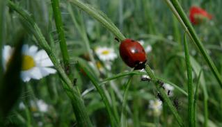 Marienkäfer - Käfer, Insekten, Marienkäfer, Nützling, Schreibanlass, halbkugelig, Deckflügel, Glückssymbol, Schädlingsbekämpfer
