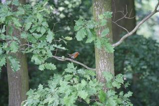 Rotkehlchen - Rotkehlchen, Singvogel, Fliegenschnäpper, Waldrand