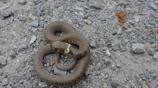 Ringelnatter #1 - Ringelnatter, Schlange, Kriechtier, Reptil, Natrix natrix