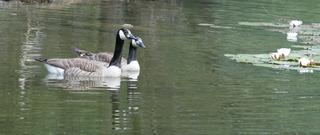 Kanadagänse - Gans, Gänse, Entenvogel, Teich, Meergans, Brutvogel, zwei