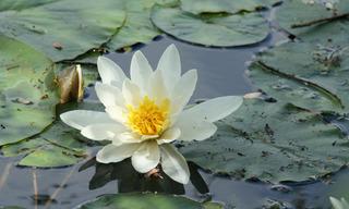 Seerose #2 - Gestaltungselement, Seerose, Seerosen, Wasserpflanze, Teich, Gewässer, Blüte, Staubbeutel, Wasserpflanze, Schwimmblätter