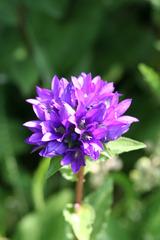Knäuelglockenblume - Pflanzen, Blumen, Blüten, blau, Glockenblume, Gartengewächse, Staubgefäße, Stiel, Stängel, Wiesenblume, Campanula glomerata