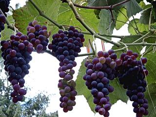 Weintrauben - Weintrauben, Trauben, Wein, Weinlaub, Blätter, grün, süß, blau, Herbst