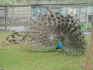 Pfau beim Radschlagen - Pfau, blau, grün, bunt, Federn, Gefieder, Vogel, Ziervogel, glänzend, Schmuck, schillernd, Schwanzfedern, Haustier, groß