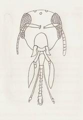 Bienekopf - Biene, Mundwerkzeuge, Insekten, Hautflügler, Rüssel
